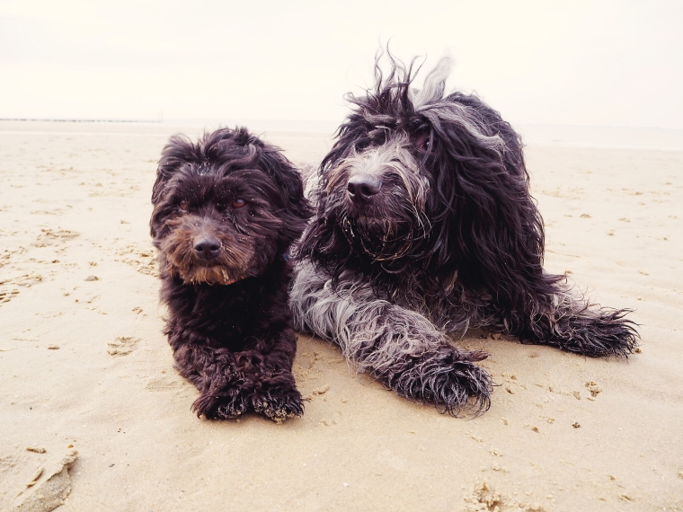 havanese and schapendoes on the beach