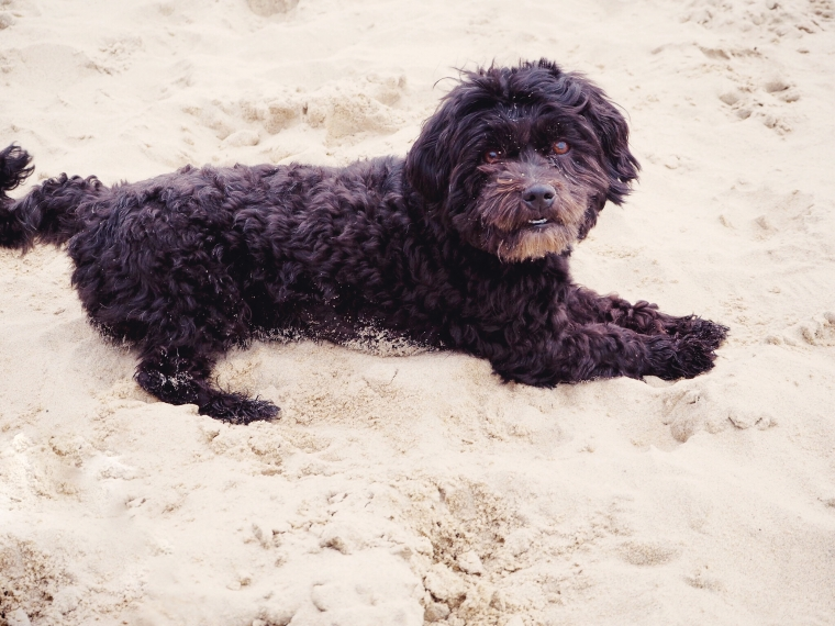 black havanese on the beach