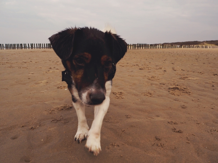 jack russel on the beach